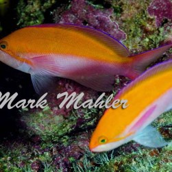 Critters - bicolor anthias 2
