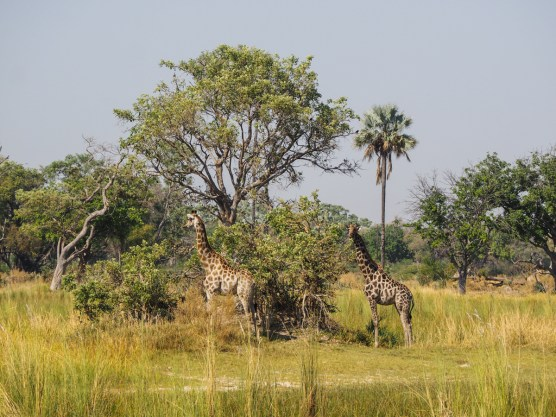 Giraffen beim Bush Walk