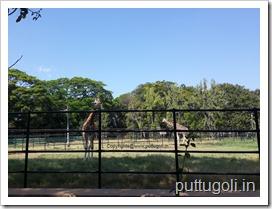 GiraffeAtMysoreZoo