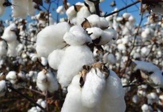 cotton-plant-information