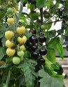 World's First Black And White Tomato Plant