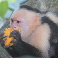 A Costa Rican Adventure: Attacked by Monkeys