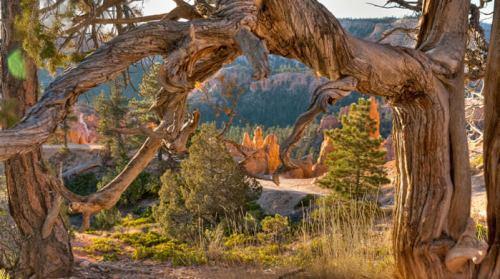 Flora del Parque Nacional Cañón Bryce