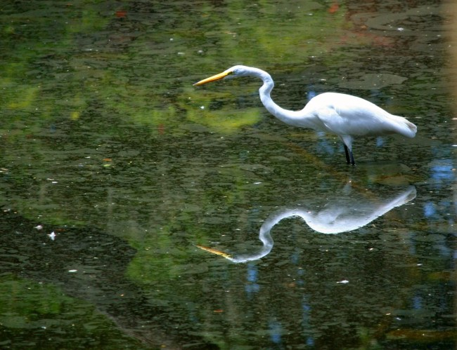 Patience Embodied in the Great White Egret