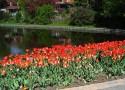 tulip-fest-2008-1