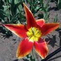 tulip-fest-2008-11