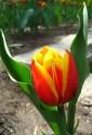 tulip-fest-2008-13