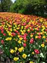 tulip-fest-2008-14