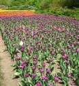 tulip-fest-2008-6