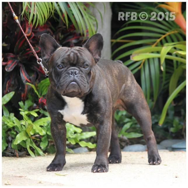 French-Bulldogs-Frenchies