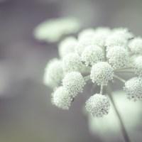 White Umbels Of Flowers