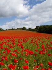 poppies_crop