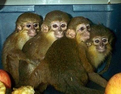 Monos chinos, recuperados en una operación policial en Valencia. EFE/MG