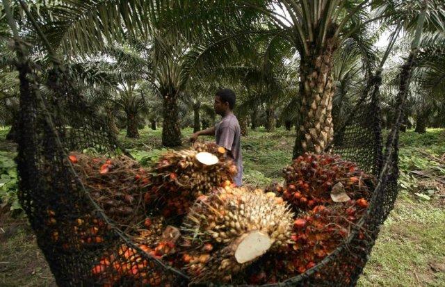 Cultivo de palma de aceite en María la Baja (Colombia). EFE/Ricardo Maldonado