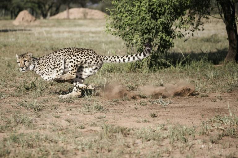 Un guepardo cautivo realiza un simulacro de ejecución, para mantenerse atento al instinto de caza, en un recinto del Fondo de Conservación Cheetah en Otjiwarongo, Namibia, el 18 de febrero de 2016 AFP/Archivos / GIANLUIGI GUERCIA