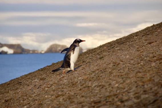 Las-erupciones-volcanicas-marcaron-el-destino-de-los-pingueinos-antarticos_image_380