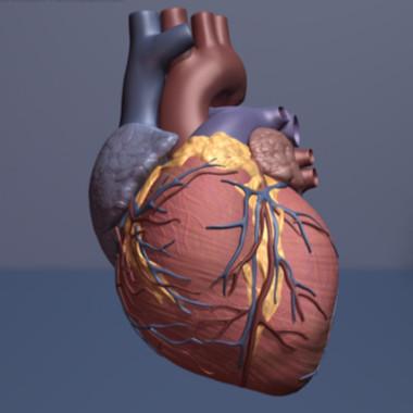 El tratamiento con cardiotrofina-1 reparó el tejido del corazón de una rata tras un ataque. / American Heart Association