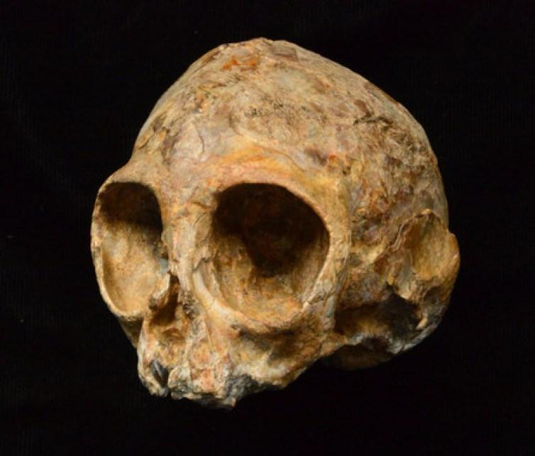 El cráneo de Alesi, perteneciente a la nueva especie extinta de mono Nyanzapithecus alesi. / Fred Spoor