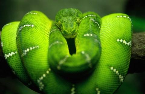Green-Snake-Mania