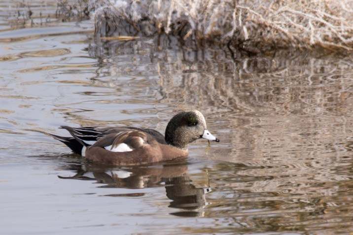 Male American Widgeon