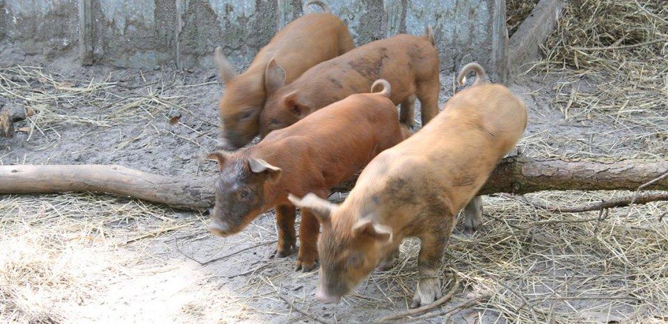 Piglets for Slider