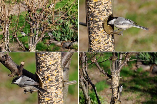 Feeding_Chickadees