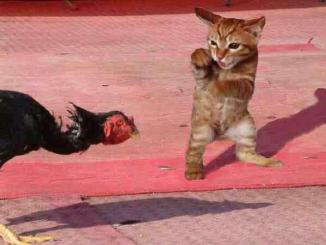 r_1227913727_cat-turkey-smackdown