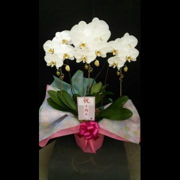 10周年お祝いの胡蝶蘭をお送りいたしました。