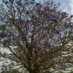 The purpleleafed trees I saw around Lilongwe are ravishing