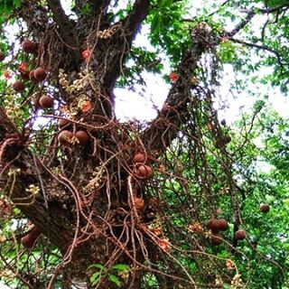 The canon ball tree native to the rain forests ofhellip