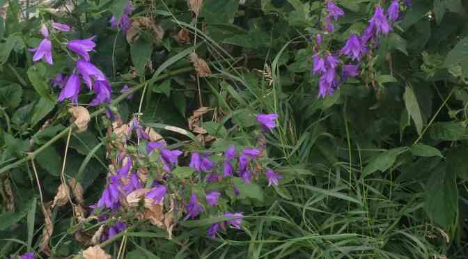 """<span class=""""entry-title-primary"""">Creeping bellflower spotted everywhere</span> <span class=""""entry-subtitle"""">This pretty purple flower is actually a noxious weed</span>"""