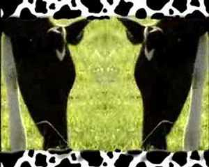Cow Song