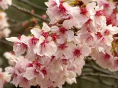 寒桜(日本庭園)