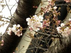 国立能楽堂脇の桜(ソメイヨシノ)