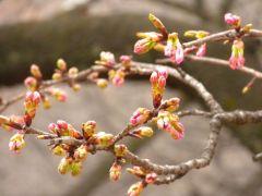 大寒桜(桜園地)
