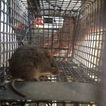 Rat trapping job in Alpharetta GA