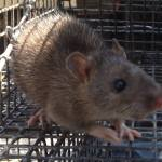 Rat Trapping in Atlanta GA