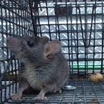 Duluth Georgia Rat Trapping and Rat Control