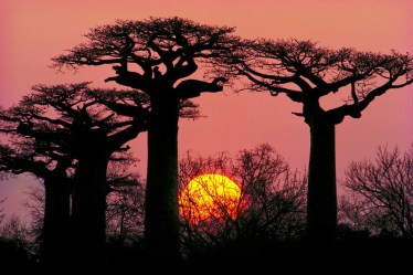 Sunset-through-baobab-trees-Morondava-Madagascar