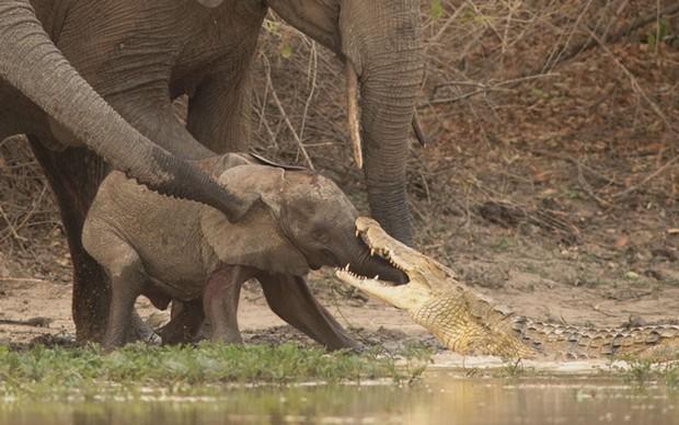 Flagra incrível mostra crocodilo mordendo tromba de bebê elefante