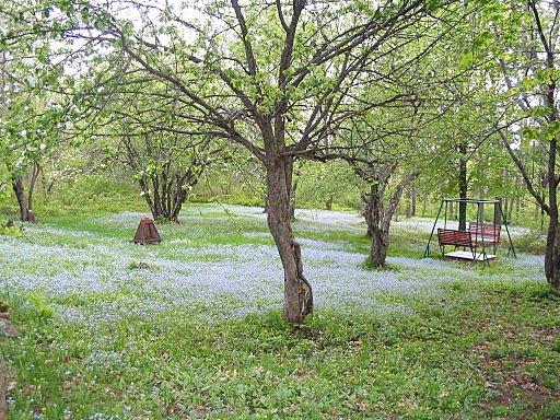 Rectory Hill en mai, quand les pommiers sont en fleurs et que le terrain est envahi de myosotis