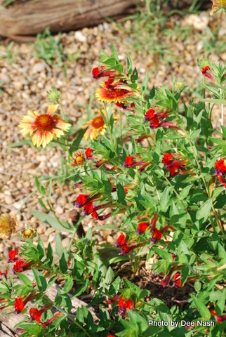 Gaillardia with 'Tiny Mice' Cuphea