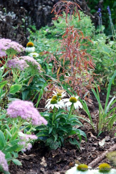 Sedum 'Autumn Joy', Botanical Name: Acalypha wilkesiana 'Mardi Gras', 'White Swan' Echinacea