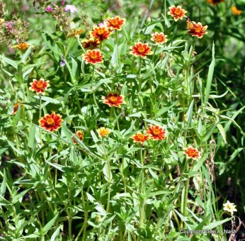 Persian Carpet zinnias