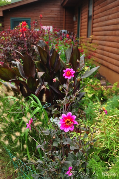 Dahlias, cannas, clumping bamboo and 'Hameln' dwarf fountain grass in the side garden.