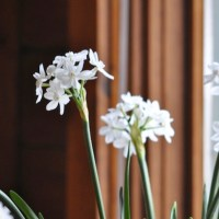 Not all paperwhites stink