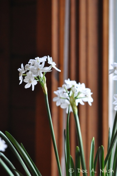 Paperwhites, probably 'Ziva' before I knew better.