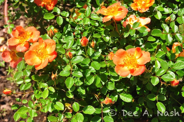 Oso Easy® Paprika rose