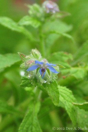Borage flowers taste like cucumber, and they are blue.