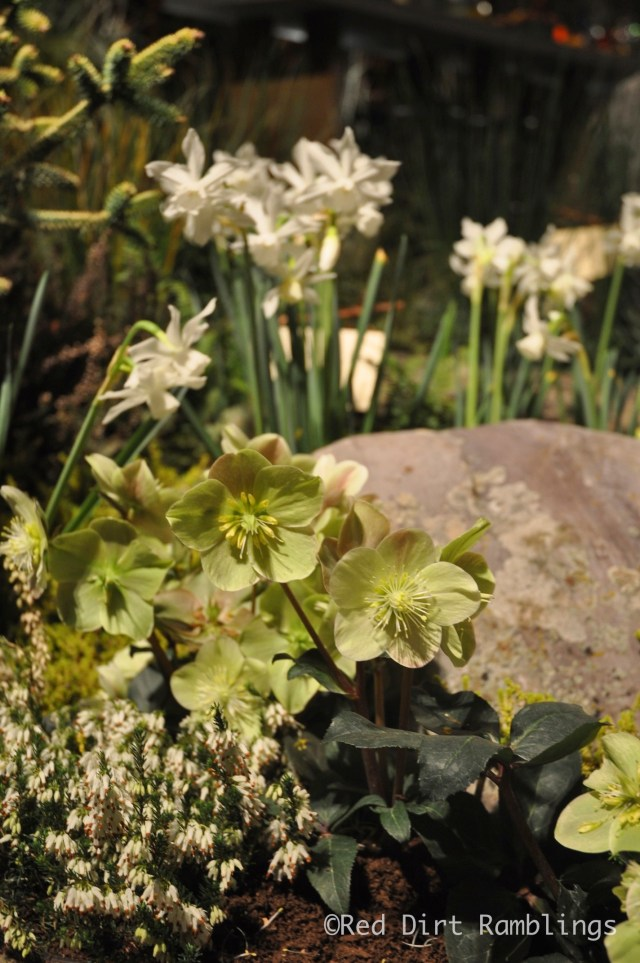 Hellebores and Thalia daffodils